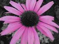 Pink Echinacea (Cut Out)