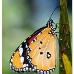 """""""Butterfly"""" by murlon123"""