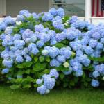 """hydrangeas"" by MaureenReilly"