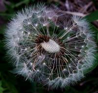Dandelion Exposed