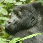 """Mountain Gorilla"" by Janetreynolds"