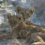 """Hungry Cubs"" by Janetreynolds"