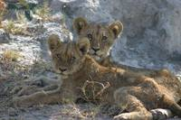 Hungry Cubs
