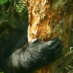 """Mountain Gorilla Reach"" by Janetreynolds"