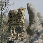 """Cheetah on Termite Mound"" by Janetreynolds"