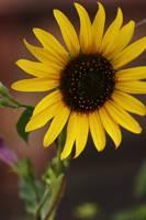 Santa Fe Sunflower