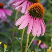 Coneflower Art Prints & Posters by Janet Reynolds