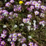 """small flowers at Torrey Pines"" by ThomasArt"