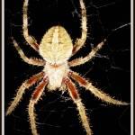 """""""Spider"""" by edensdad"""
