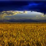 """yellow field"" by newvision"