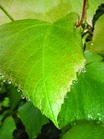 grape_leaf_bejeweled