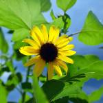 """Monsoon Sunflower"" by heathershuston"