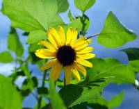 Monsoon Sunflower