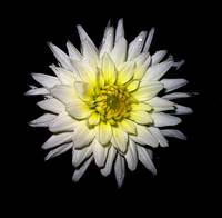 White Dahlia Against Black