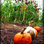 """muddy pumpkins and dead sunflowers"" by jmsam"