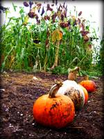 muddy pumpkins and dead sunflowers