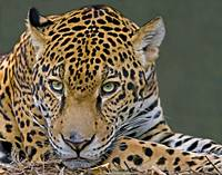 Spirit of a Jaguar
