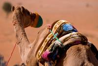 Omani One Hump Camel