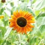 """""""Sunflower Delight"""" by tricia"""