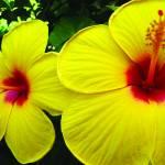"""""""hibiscus_III"""" by gbensonart"""