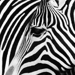 """The Zebra"" by ntg-photography"