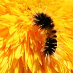 """Wooly Bear"" by JGphotography"