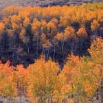 """Aspen Golden Glow"" by colonial1637"