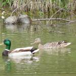 """Western Pond Turtles and Mallard Pairs"" by mickspics"