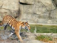 A tiger in motion