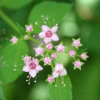 Little Pink Flowers