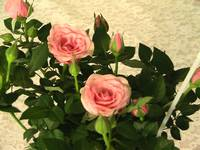 my pink roses