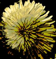 Dandelion on Steroids