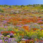 """The wild flower carpet of Namaqualand"" by Martin_Heigan"