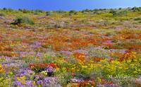 The wild flower carpet of Namaqualand