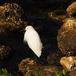 """Snowy Egret"" by mariematheson"