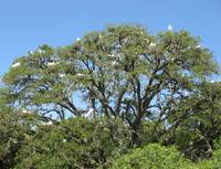 Egrets in a Tree
