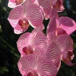 """Pink orchids"" by karine_gagnon3"