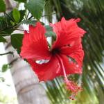 """Hibiscus blossom"" by karine_gagnon3"