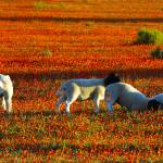 """Namaqualand aromatherapy"" by Martin_Heigan"