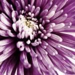 """Purple mum"" by emilymccallphotography"
