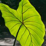 """Giant Green Leaf"" by imageryphotos"