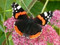 Red Admiral Butterfly On Ice Plant