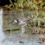 """Lesser Yellowleg"" by AwesomePhotography"