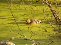 Duck in the Muck