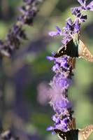 Lavendar and Butterfly