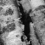 """birch bark b&w"" by thewhiskeytalking"