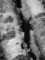 birch bark b&w