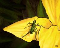 Grasshopper On Yellow Lily