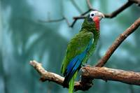 Green with Blue Parrot