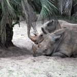 """white rhinos"" by avisualzen"